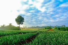 cultivo-campo-amanecer-verde