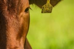 ganado-vaca-campo-verde-cafe-scaled